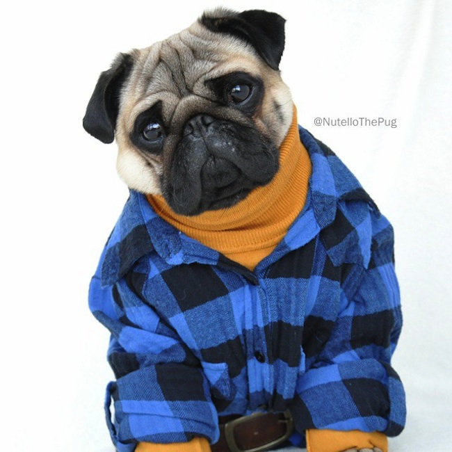 Meet_Nutello_the_Pug_One_of_the_Most_Fashionable_Dogs_on_Instagram_2015_02