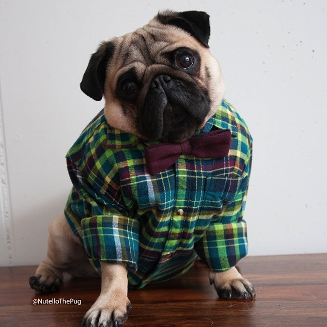 Meet_Nutello_the_Pug_One_of_the_Most_Fashionable_Dogs_on_Instagram_2015_09