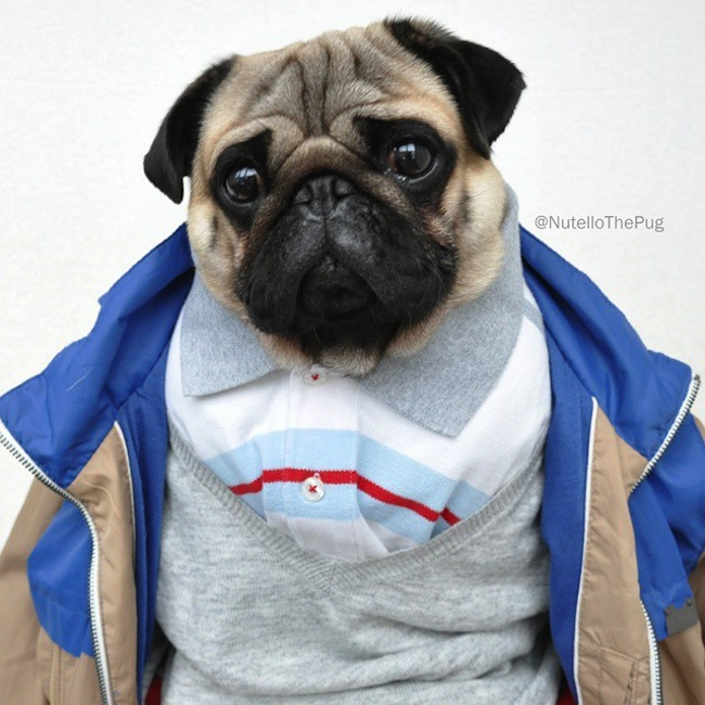Meet_Nutello_the_Pug_One_of_the_Most_Fashionable_Dogs_on_Instagram_2015_10