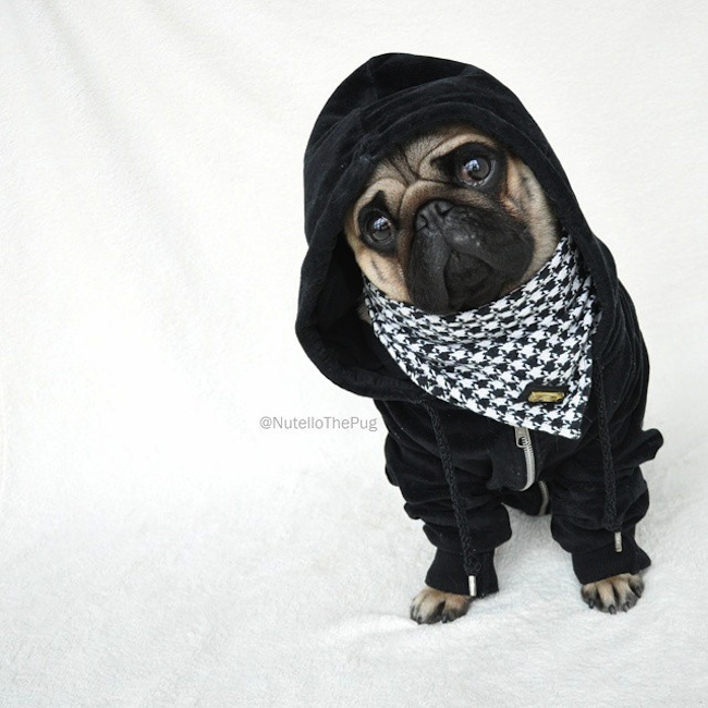 Meet_Nutello_the_Pug_One_of_the_Most_Fashionable_Dogs_on_Instagram_2015_14