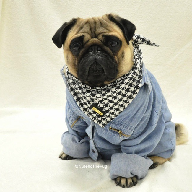 Meet_Nutello_the_Pug_One_of_the_Most_Fashionable_Dogs_on_Instagram_2015_17
