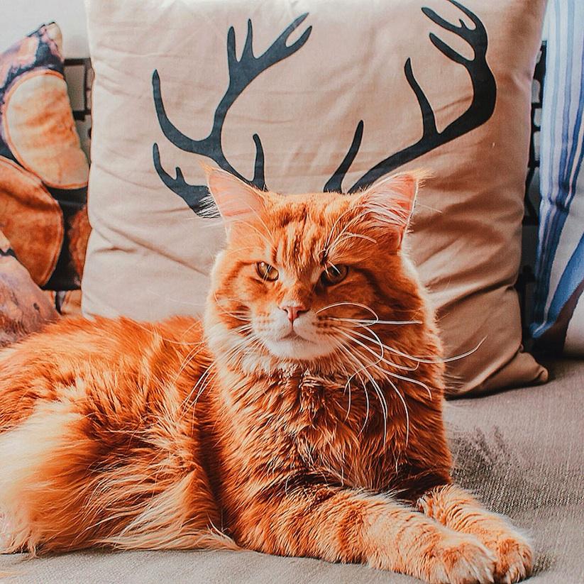 Meet_Kotleta_The_Majestic_Ginger_Cat_of_Russian_Photographer_Kristina_Makeeva_2016_13