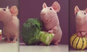 Meet_Ludwik_A_Naked_Guinea_Pig_from_Poland_2016_header
