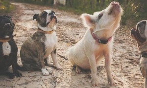 Meet_Olive_An_Adorable_Little_Pig_that_was_Raised_with_Dogs_2016_header