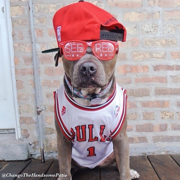Meet_Chango_The_Swaggiest_And_Most_Handsome_Pit_Bull_On_Instagram_2014_01