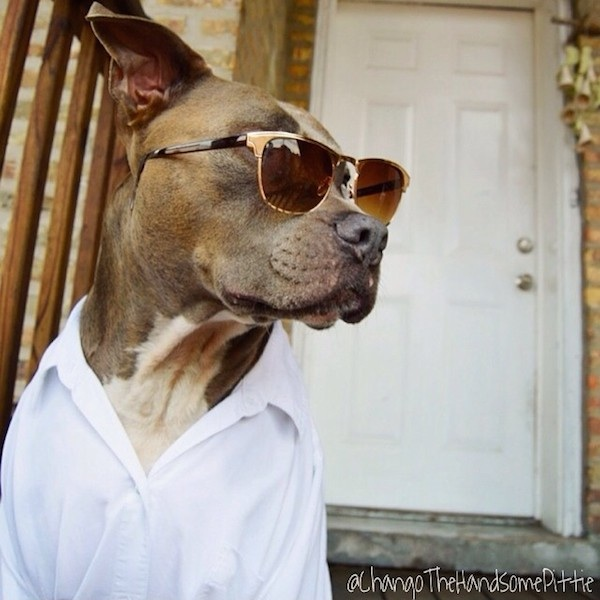 Meet_Chango_The_Swaggiest_And_Most_Handsome_Pit_Bull_On_Instagram_2014_03