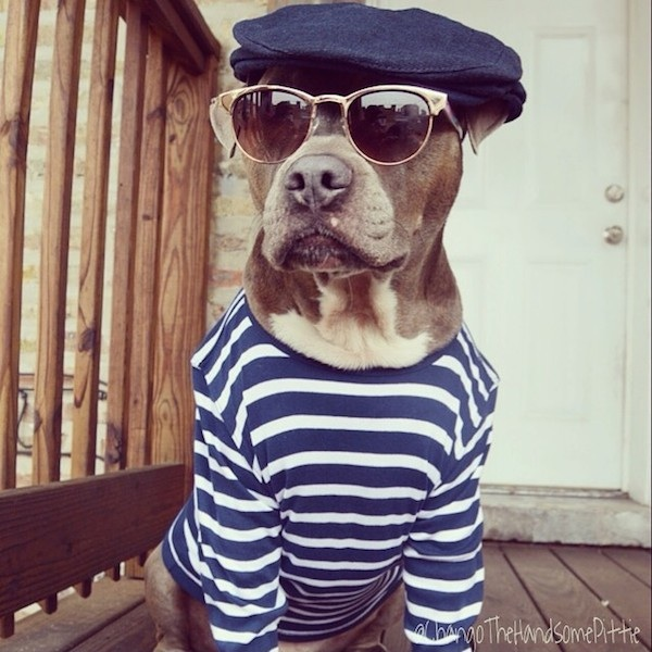 Meet_Chango_The_Swaggiest_And_Most_Handsome_Pit_Bull_On_Instagram_2014_04