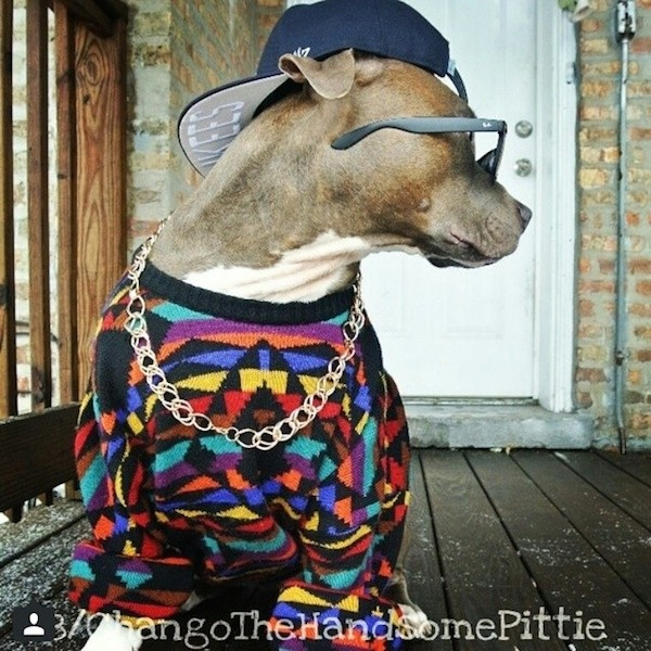Meet_Chango_The_Swaggiest_And_Most_Handsome_Pit_Bull_On_Instagram_2014_06