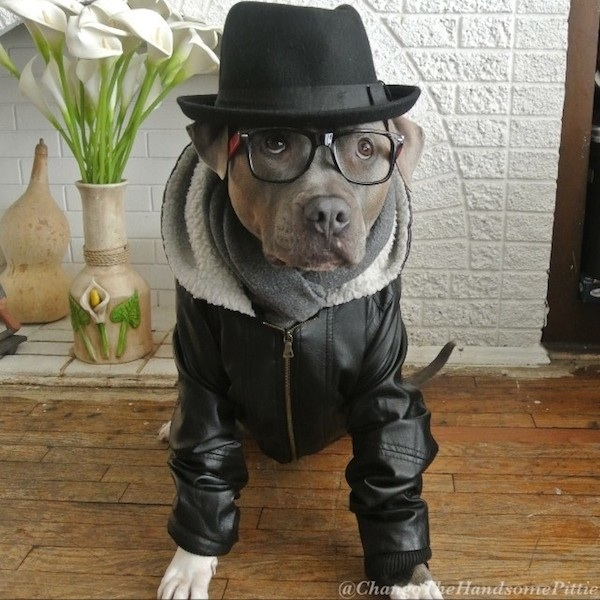 Meet_Chango_The_Swaggiest_And_Most_Handsome_Pit_Bull_On_Instagram_2014_08