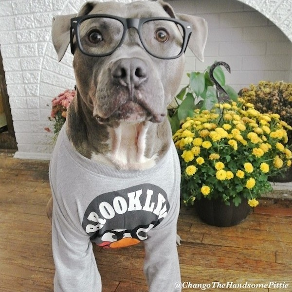 Meet_Chango_The_Swaggiest_And_Most_Handsome_Pit_Bull_On_Instagram_2014_09