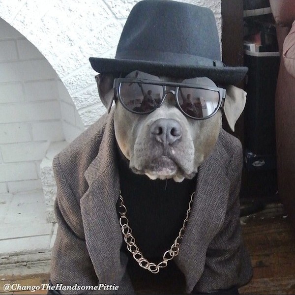 Meet_Chango_The_Swaggiest_And_Most_Handsome_Pit_Bull_On_Instagram_2014_10
