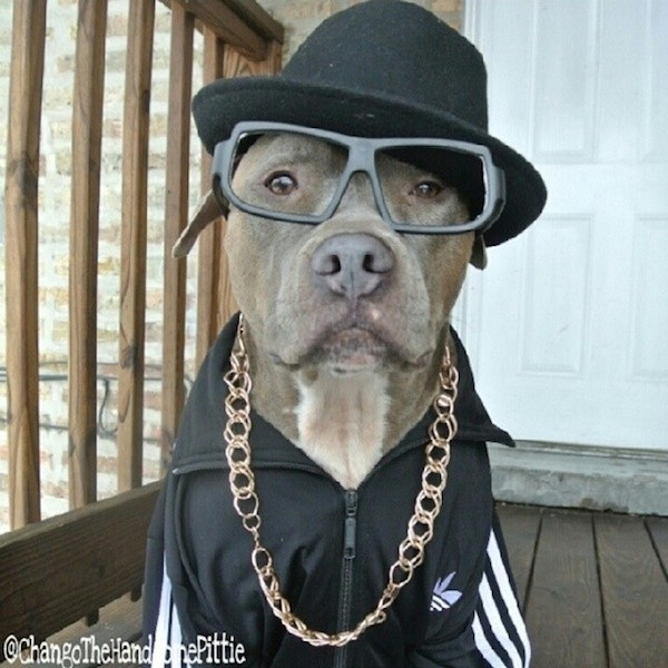 Meet_Chango_The_Swaggiest_And_Most_Handsome_Pit_Bull_On_Instagram_2014_11
