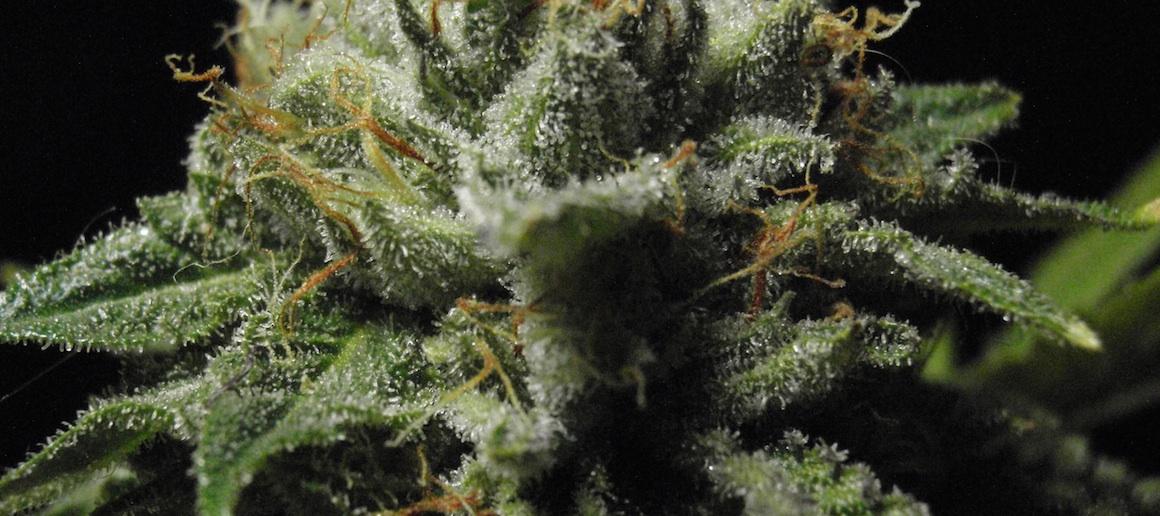 unweeding_marijuana_zoom_bb